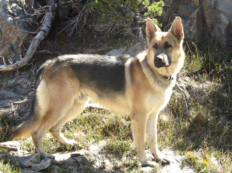 Old-Fashioned, Thick Boned, Large German Shepherd Breeder